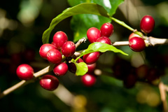 coffee plant with red coffee cherries