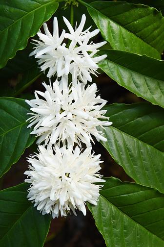 white coffee tree blossoms